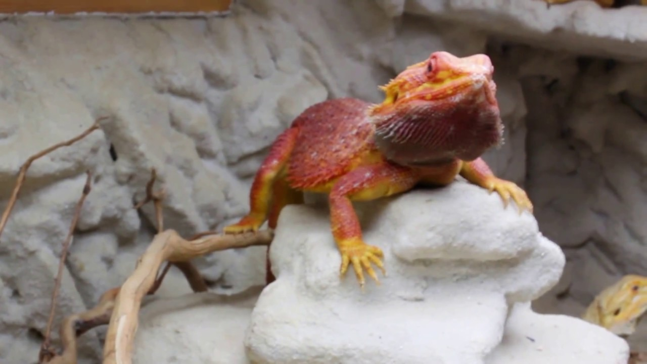 Adults Bearded Dragon Red Coral Carl X Citrus Females