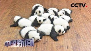 [中国新闻] 成都大熊猫基地国庆期间须网上提前购票 | CCTV中文国际