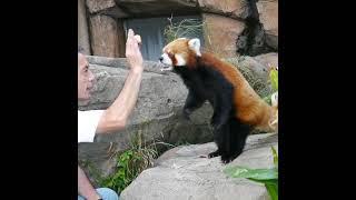 Red Panda (Jazz) Seems He Was Healed  Mood When You Eat an Apple 🍎🦊😂| Panda HappyLand #shorts