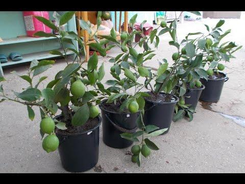 """Размножение лимона отводками!!! Часть 2 """"осень""""!!!Reproduction of lemons"""