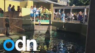 Saltwater Crocodile Makes Davis Cup Draw