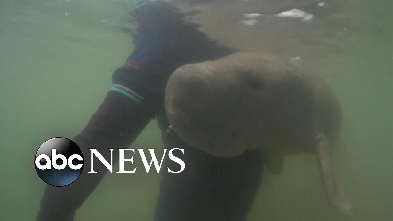 ABC News:Marium the viral Dugong dies after ingesting plastic