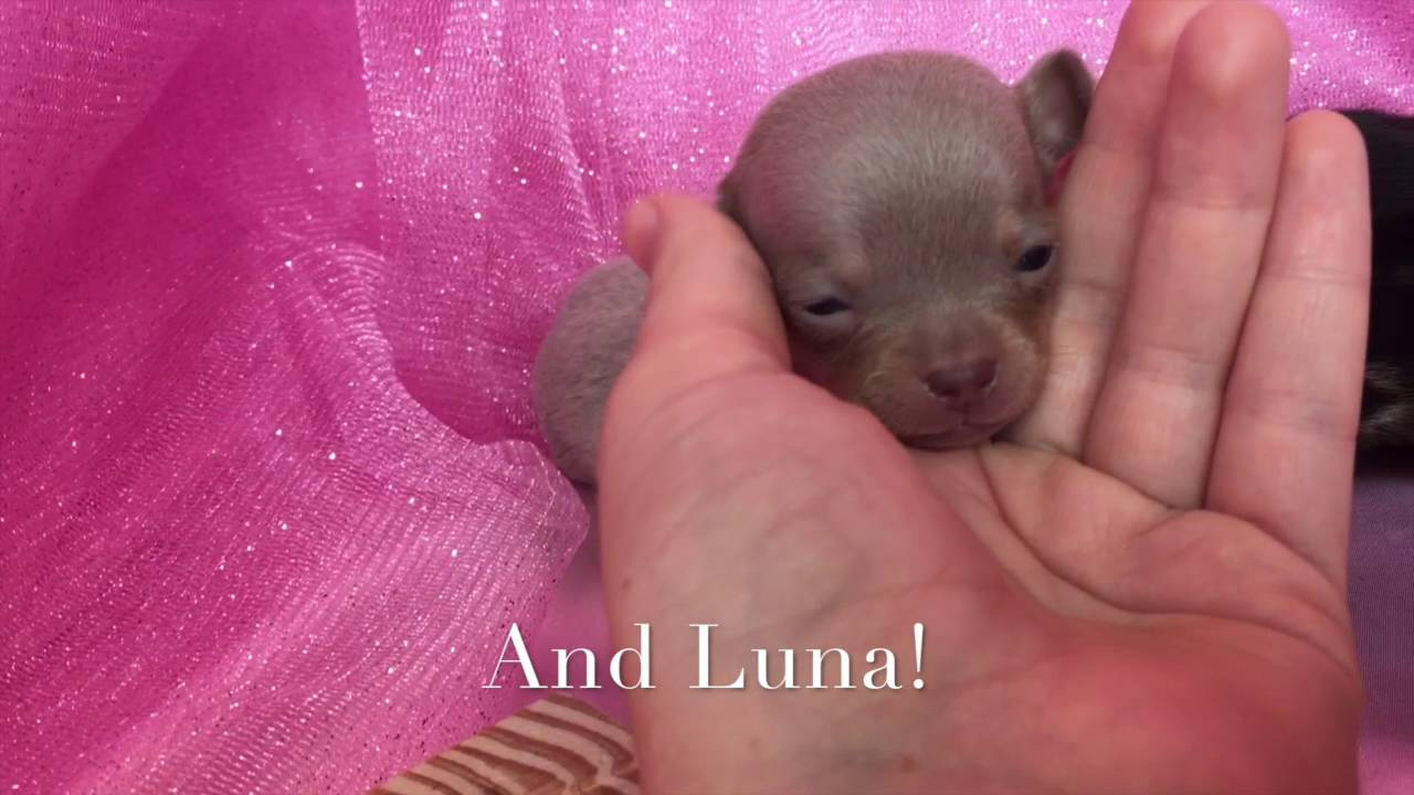 Teacup Chihuahua Puppies For Sale In Raleigh Nc Youtube