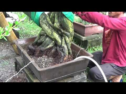 A Day in the life of Bonsai Iligan: Bare Rooting a Large Pemphis Acidula