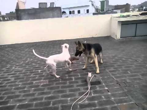 bully dog vs german shepherd youtube. Black Bedroom Furniture Sets. Home Design Ideas