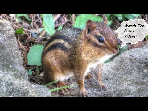 10 Funniest Chipmunk Videos Compilation