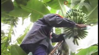 Home Grown World Class Bananas
