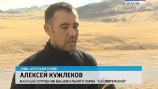 видео Турмаршруты в Горном Алтае по следам снежного барса