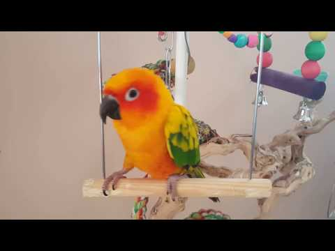 Mango The Sun Conure Adorably Obsessed With Swing | PARROT VIDEO OF THE DAY
