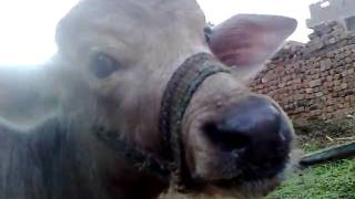 pneumonia in buffalo calf.mp4