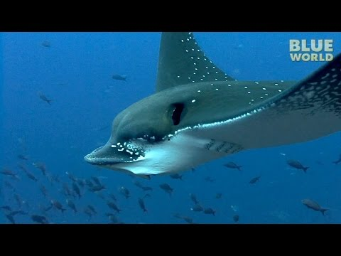 Skates and Rays! | JONATHAN BIRD'S BLUE WORLD