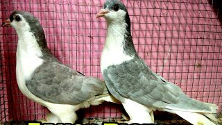 Fancy Pigeon Price In India