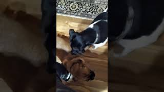 Smooth Fox Terrier  Pugalier play!