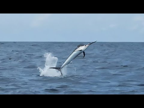 When You Accidentally Catch A Marlin While Fishing For Tuna