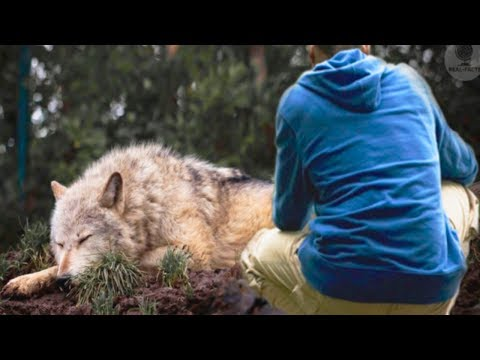 A man saved a she wolf from a trap, a few years later she saved his life