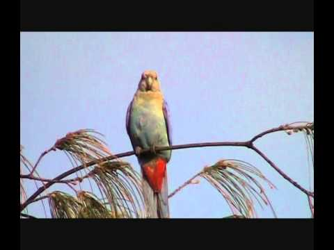 Pale-Headed Rosella – Bird watching in Australia with Ej-Birdwatching
