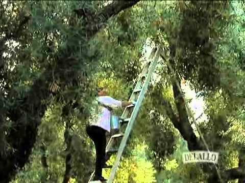 The Olive Harvest: Harvesting Sevillano Olives