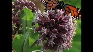 Herbicides are killing off plants Monarch butterflies need to survive!