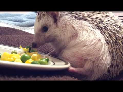 Stumpy eating peas and corn (hedgehog with 3 legs)