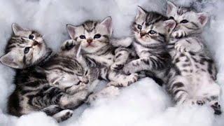 Cutest Kittens EVER! Cutest American Shorthair Kittens!