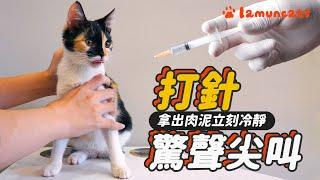 小貓看醫生奶音不斷 針都還沒扎尖叫分貝已破表┃拉姆有幾噗 ♧