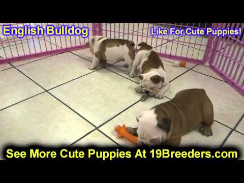English Bulldog, Puppies, For, Sale, In, Columbia, Maryland, MD, Perry Hall, Pikesville, College Par