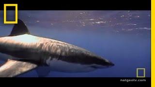 Shark Alert! Species Struggle | National Geographic