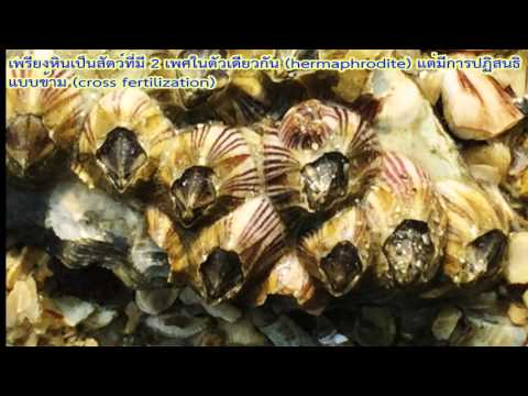 เพรียงหิน (rock barnacle)