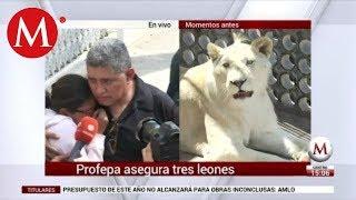 Profepa se lleva a leones que vivían en azotea en Iztacalco