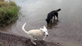 Our Two Border Collie X German Shepherd Mix Dogs Playing