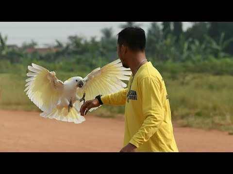 MONTIE KAKATUA FREE FLY COCKATOO FREE FLIGHT DUNIA BINATANG