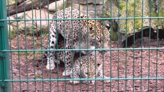 Kopulujące lamparty w gdańskim zoo