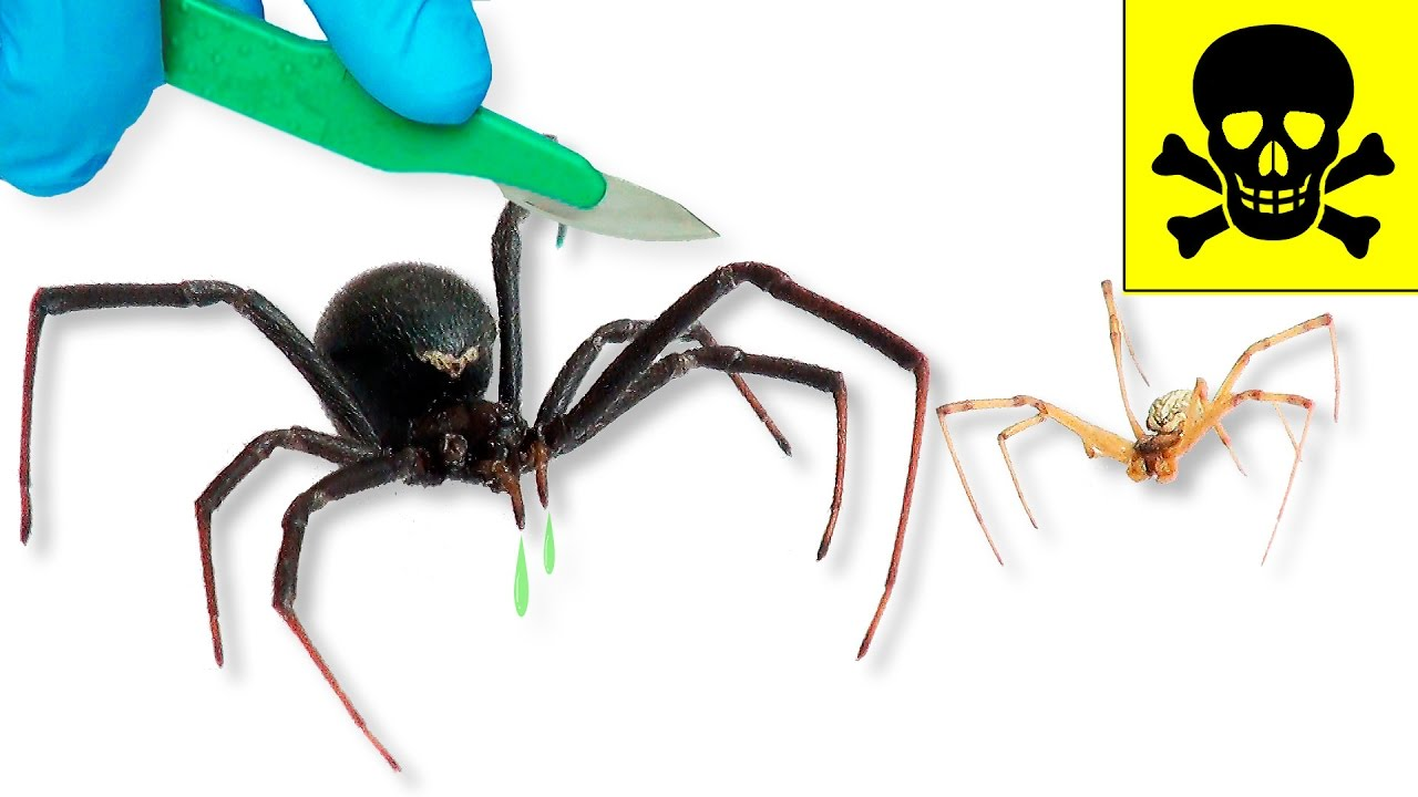 Qué Hay Dentro de una Viuda Negra? - Arañas Venenosas - YouTube
