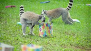 Check out our lemur birthday party!