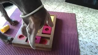 Logan Weimaraner Jugando Al Dog´s Chess