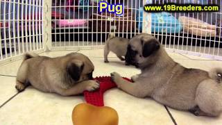 Pug, Puppies, For, Sale, In, Wichita, Kansas, Ks, Pittsburg, Hays, Liberal, Prairie Village, Derby,