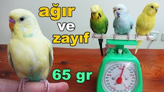 Measuring Weight of Budgie and Parrot