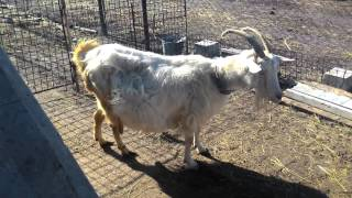Коза в день окота, которая носит четыре козленка. The goat has four baby goat.