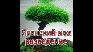 видео Яванский мох. Способы разведения