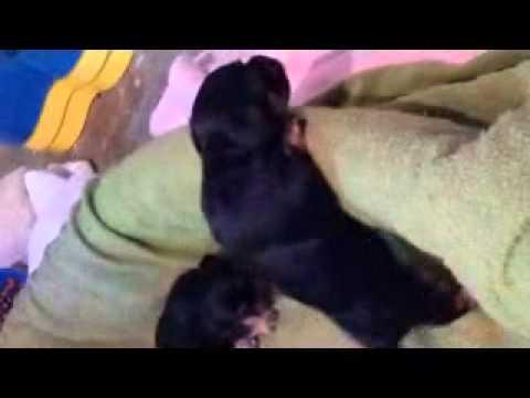 adorable-yorkie-x-maltipoo-puppies