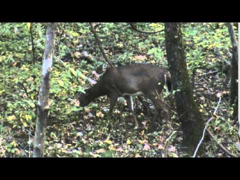 Pennsylvania archery doe hunt 2014 (Mounatin Laurel Outdoors)