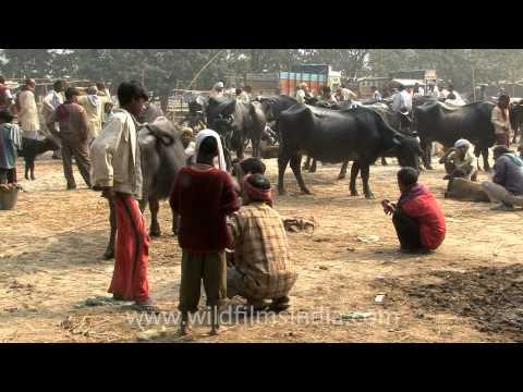Sonepur cattle fair - the healthiest livestock