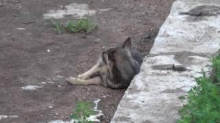 Бродячие собаки  online video cutter com 1