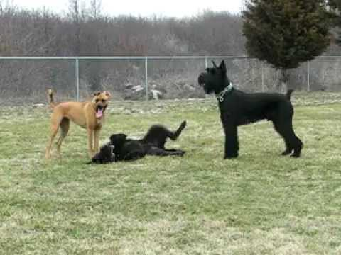 Giant Schnauzer And Shepadoodle Playing At Dogpark Youtube