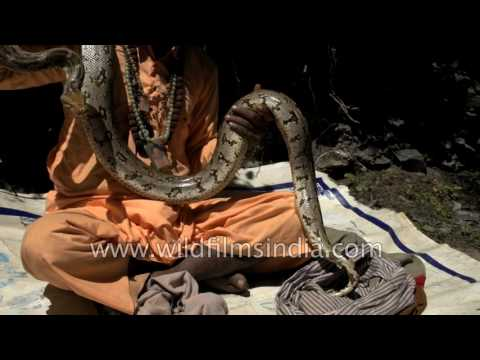 Python in the Himalaya? Baba shows off serpent on Manimahesh yatra, Bharmour