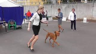 породы собак, Венгерская выжла, или венгерская легавая - выставка собак в Великом Новгороде