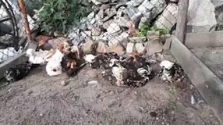 Kąpiel piaskowa - Czubatka Polska, Sand bath - Polish Chickens