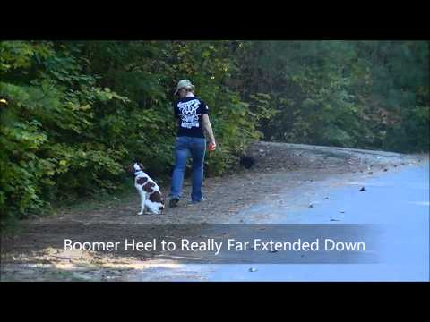 2yo Brittany Spaniel 'Boomer' Before and After Video  Raleigh Durham Dog Trainers