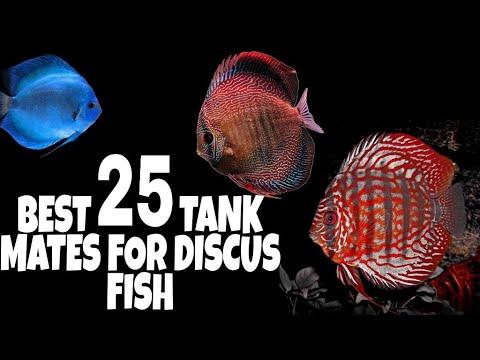 Tank Mates For Discus Fish