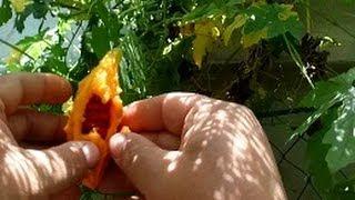Seed Saving - Bitter Gourd.